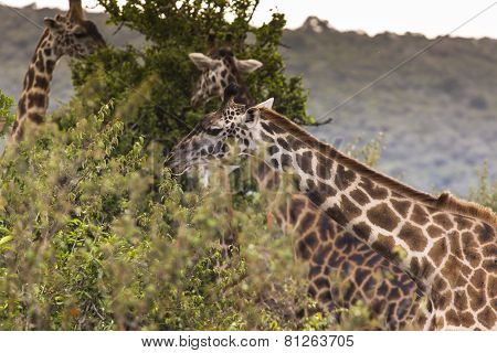 Giraffe On Safari Wild Drive, Kenia.