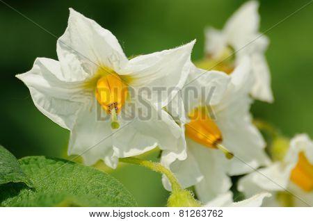 Beauty Of White Flowers Of Potato