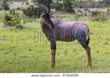 Topi Antelope In The National Reserve Of Africa, Kenya