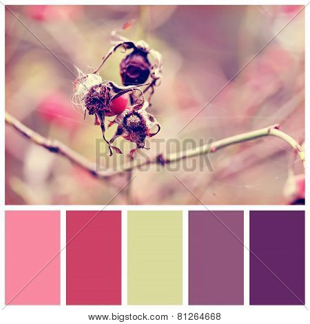 Dog Rose Berries With Complimentary Colour Swatches