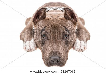 Portrait of a pitbull close-up