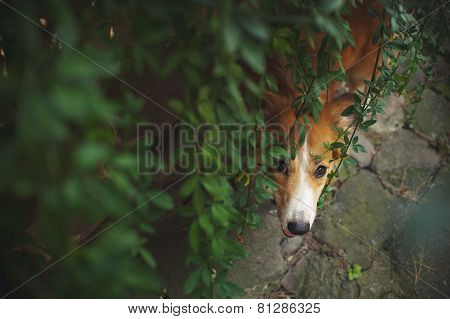 Red Border Collie Looking From Bottom At Camera