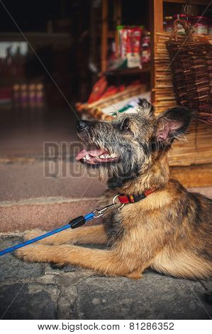 Cute Dog Lies And Waits At The Store