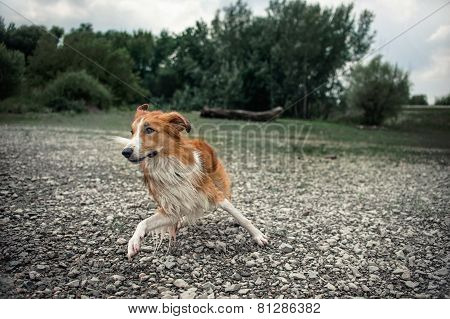 Dog Runs On The Stone Beach, Splashing