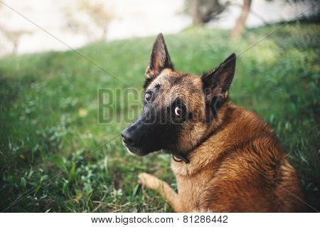 Belgian Shepherd Dog, Portrait
