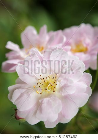 Many Petaled Pink Rose Close Up