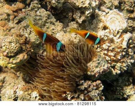 two small anemone fish from above