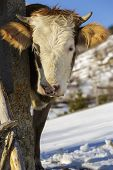 stock photo of cow head  - Portrait of brown horned young cow with white head and bell looking at camera in wintertime - JPG