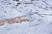 picture of alpaca  - Herd of domestic alpacas on snow in high altitudes in peruvian Andes south America - JPG