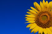 picture of sunflower  - The yellow Sunflower on the Field against the blue sky - JPG