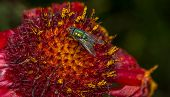 stock photo of gathering  - Fly gathering nectar on a beautiful red and yellow flower - JPG