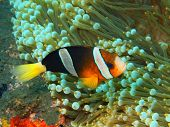 picture of clown fish  - The surprising underwater world of the Bali basin - JPG