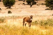 picture of wild donkey  - Brown donkey at field at summer - JPG