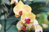 pic of orquidea  - Beautiful yellow ochids flower in the garden - JPG