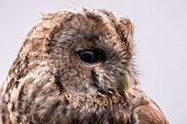 picture of bestiality  - Portrait of a Tawny Owl isolated in white background