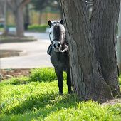 stock photo of breed horse  - Little horse pony look out from the tree - JPG