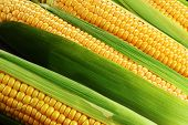 stock photo of corn cob close-up  - corn cob between green leaves close up - JPG