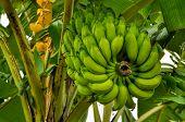 pic of banana tree  - Green bananas growing on tree in Bangladesh - JPG