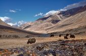 picture of yaks  - Herd of yaks in picturesque Pamir mountains in Tajikistan - JPG