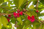 stock photo of malay  - Pomerac or Malay Apple pink blooming flower - JPG