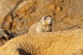 picture of prairie  - The head of a black-tailed prairie dog ** Note: Shallow depth of field - JPG