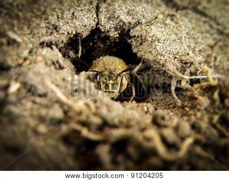 Miner bee in it's nest