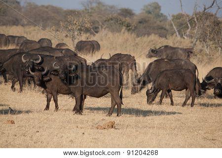 A Group Of African Buffalos