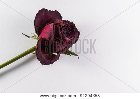 Decaying Red Rose With Copyspace