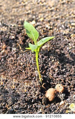 Seedlings Of Sweet Pepper