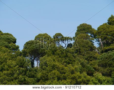 View at a Croatian island with Aleppo pine trees