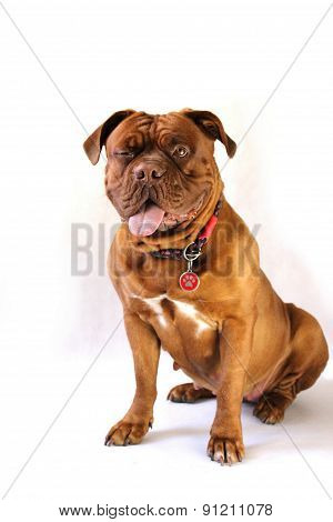 French mastiff - Dogue de Bordeaux