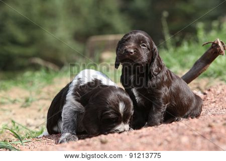 Beautiful Puppies Of German Quail Dog