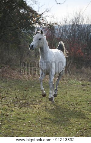 White Arabian Stallion Running