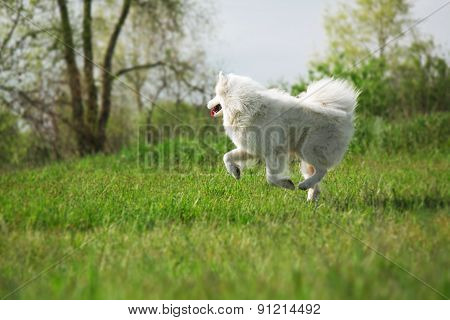 Samoyed dog running on green background