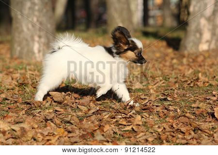 Amazing Paillon Puppy Running In Autumn