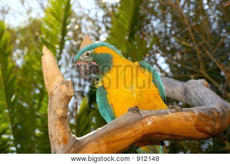 Tree Parrot