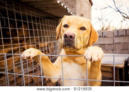 Golden Retriever Standing Leaning On A Fence And Looking Sad