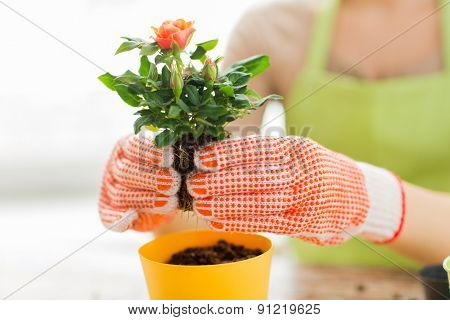 people, gardening, flower planting and profession concept - close up of woman or gardener hands planting roses to flower pot at home