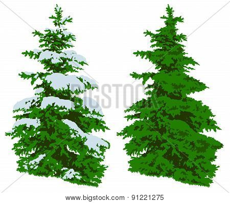 Pine Tree In Winter And Summer On White