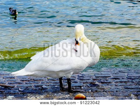 Swan In Zurich Lake