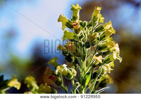 Tobacco Flowers In Bloom Against Sky