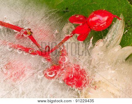 Red Berry Ice Hoperikum