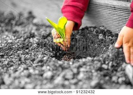 Hands Of A Child Planting A Small Plant
