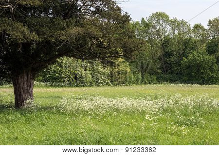 Field of Cow Parsley
