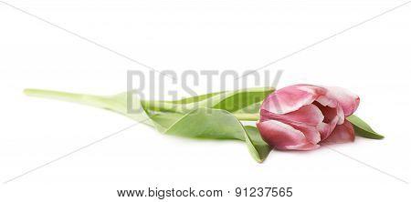 Pink magenta tulip flower isolated
