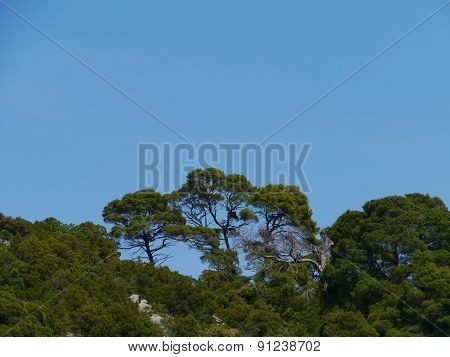 Croatian island with Aleppo pine trees