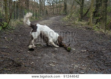 An English Springer Spaniel Playing With A Stick