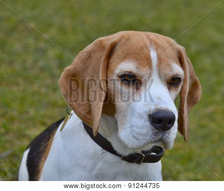 Female Tricolor Beagle