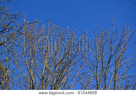 Spring Buds, Horse Chestnut, South Bohemia