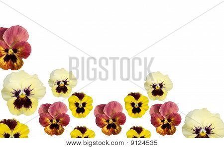 Spring Pansy Flower Border Isolated On White Copy Space